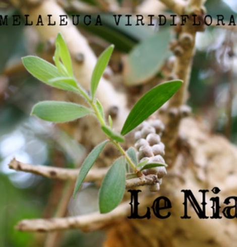 Le Niaouli, l'arbre qui purifie la peau mais pas que…