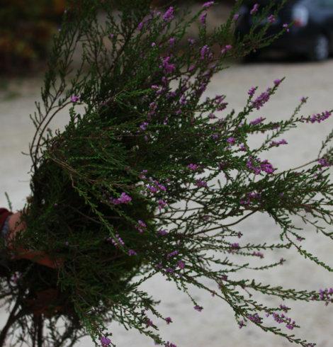 La Bruyère commune, Calluna vulgaris