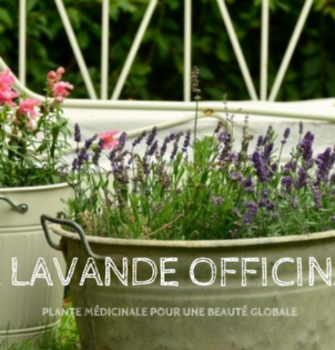 Un jour, une plante: La Lavande officinale