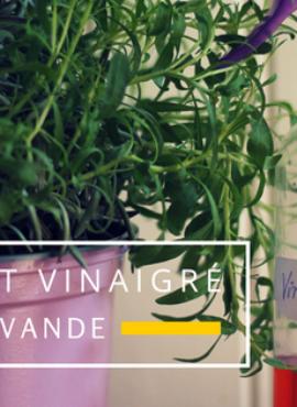 Vinaigre de Lavande: 1 macérât: 6 utilisations