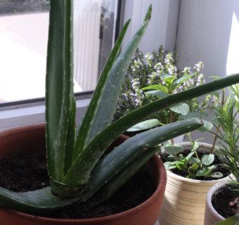 Faire pousser l'Aloe vera au balcon (ou ailleurs!)