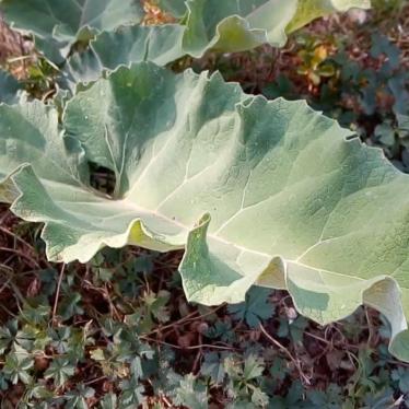 La Bardane, une plante detox pour une belle peau