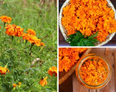 Oeillet d'Inde: Fleur parfumée aux mille bienfaits